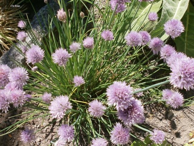 Amaryllisgewächse - Amaryllidaceae (Hippeastren, Nerine, Amaryllis, Agapanthus und auch Allium & Narzissen) - Seite 60 Allium11