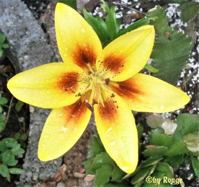 Lilien(artige) -  natürlich Lilien, aber auch Inkalilien, Zeitlose, Germer und Stechwinden - Seite 13 Asiati10