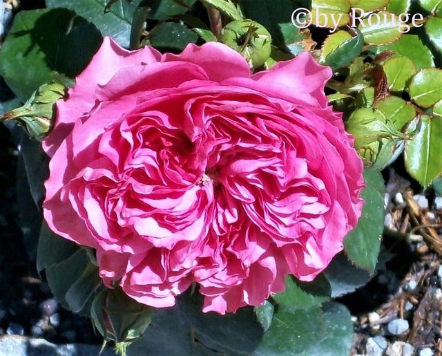 """Rosen - ein Thread für die """"Königin"""" - Seite 12 Beetro10"""