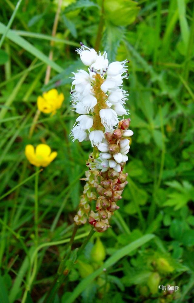 Wildblumen ( Sammelthread) - Seite 21 Bistor10