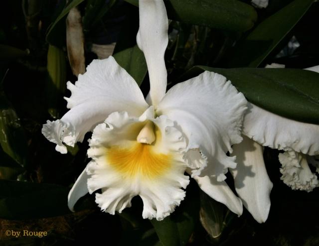 Orchideen 3 (fortlaufende Seiten 300 bis 400) - Seite 31 Brasso10