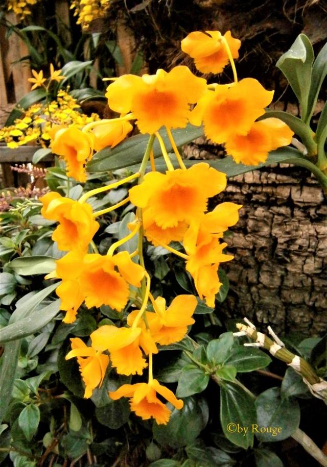 Orchideen 3 (fortlaufende Seiten 300 bis 400) - Seite 30 Dendro10