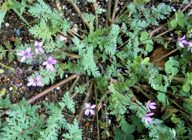 Wildblumen ( Sammelthread) - Seite 21 Erodiu10