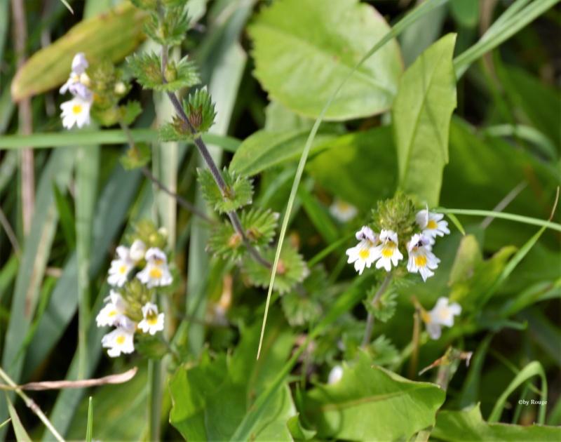Wildblumen ( Sammelthread) - Seite 23 Euphra11