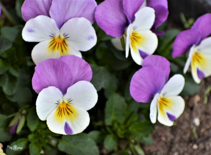 Viola - Veilchen aller Art - Seite 5 Expert10