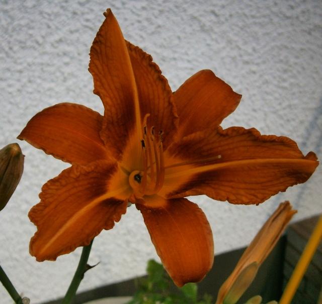 Hemerocallis - Taglilien - Schönheiten im Juni und Juli - Seite 3 Hemero10