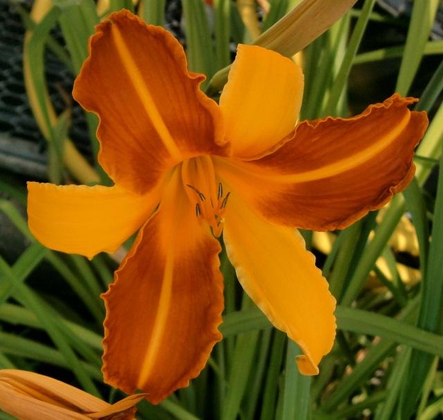 Hemerocallis - Taglilien - Schönheiten im Juni und Juli - Seite 3 Hemero11