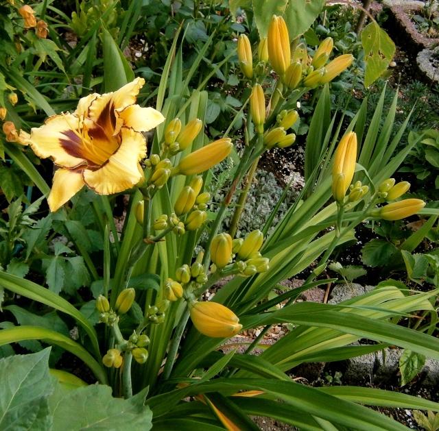 Hemerocallis - Taglilien - Schönheiten im Juni und Juli - Seite 3 Hemero12