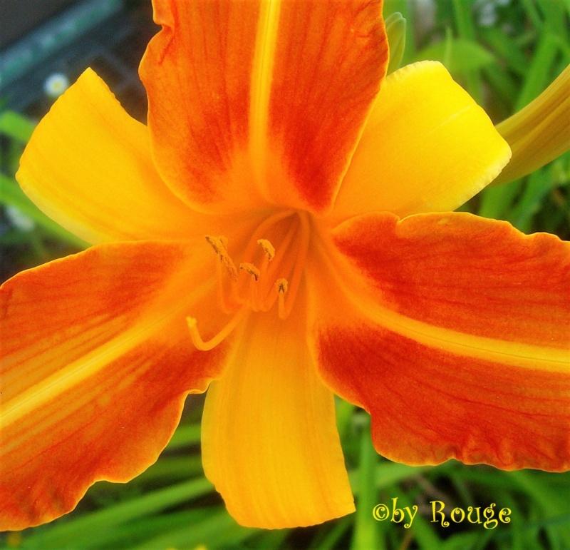 Hemerocallis - Taglilien - Schönheiten im Juni und Juli - Seite 9 Hemero13