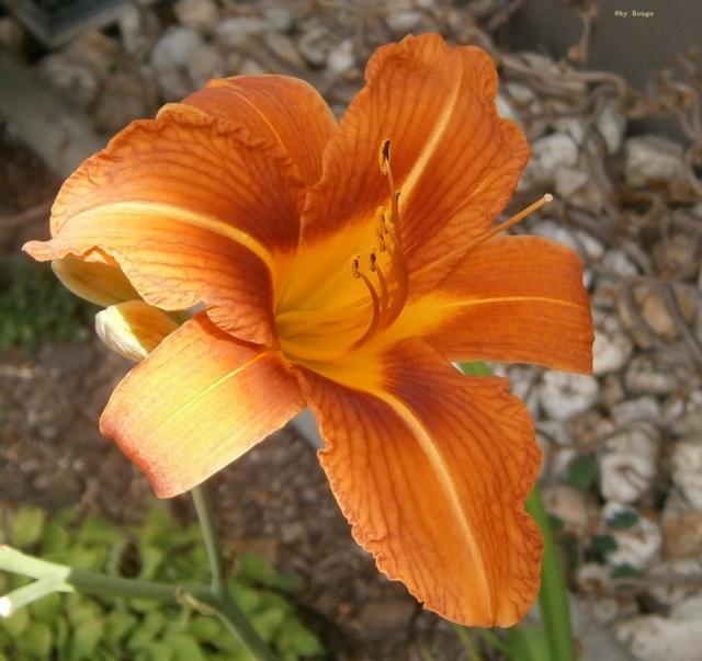 Hemerocallis - Taglilien - Schönheiten im Juni und Juli - Seite 9 Hemero14