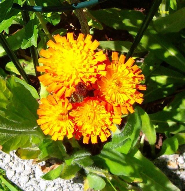 Wildblumen ( Sammelthread) - Seite 21 Hierac11