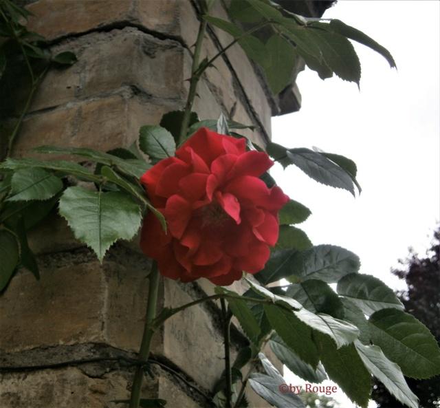 """Rosen - ein Thread für die """"Königin"""" - Seite 12 Klette11"""
