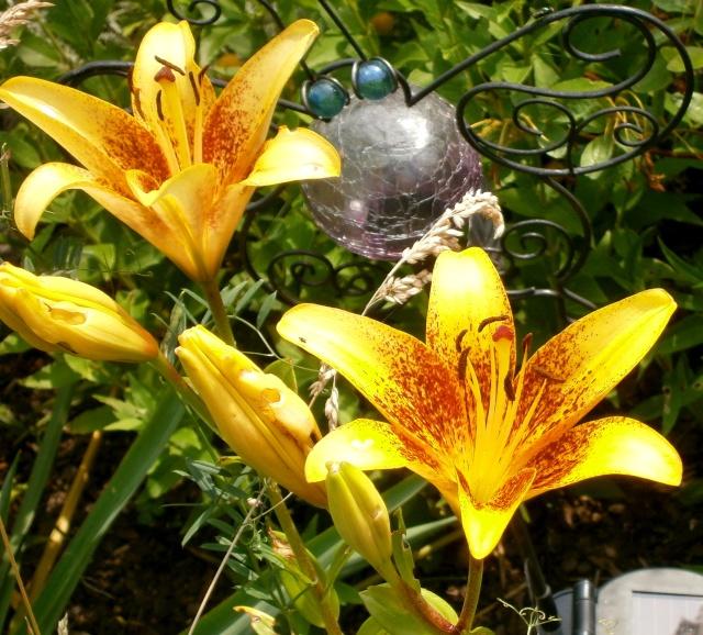 Lilien(artige) -  natürlich Lilien, aber auch Inkalilien, Zeitlose, Germer und Stechwinden - Seite 5 Lilium11