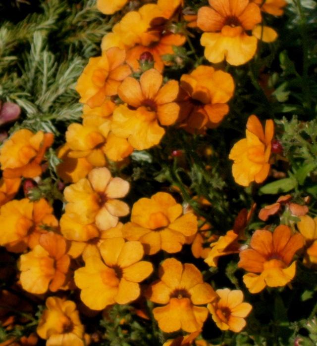 Kübelpflanzen - Seite 5 Nemesi11