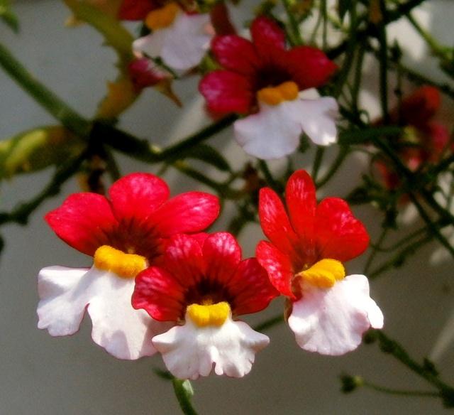 Begleitpflanzen der Kakteen in Haus und Garten - Seite 21 Nemesi13