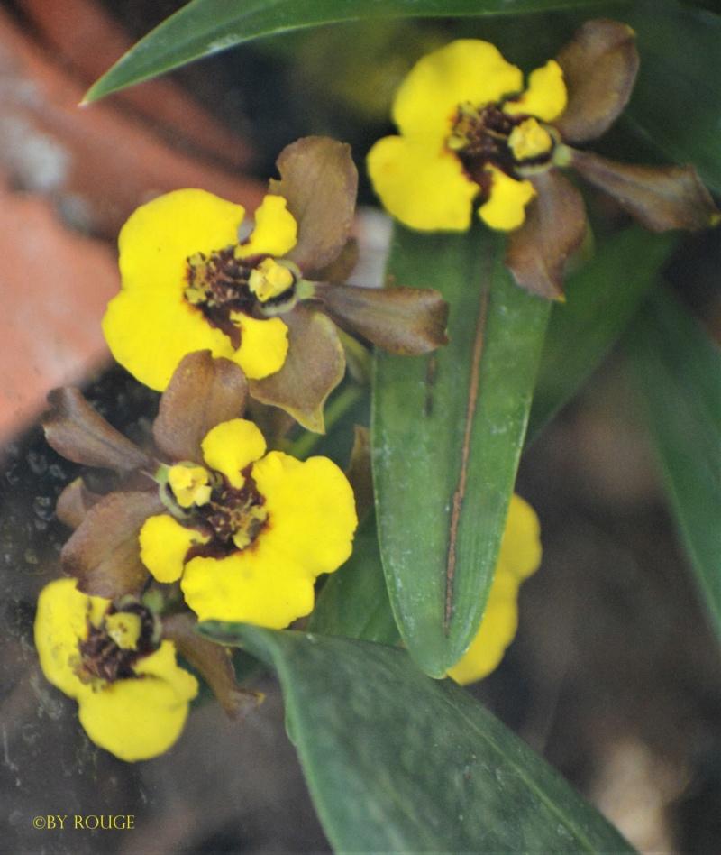 Orchideen-Ausstellungen aus aller Welt - Seite 3 Oncidi10