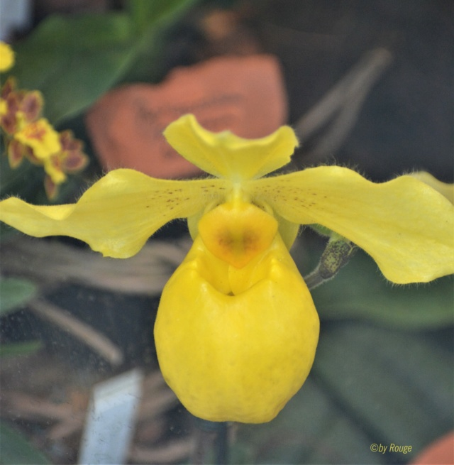 Orchideen-Ausstellungen aus aller Welt - Seite 3 Paphio11