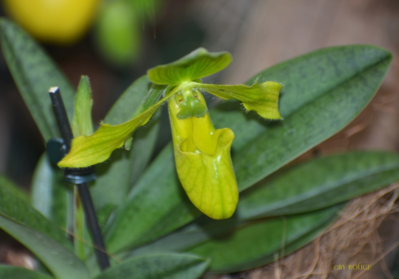 Orchideen-Ausstellungen aus aller Welt - Seite 3 Paphio13
