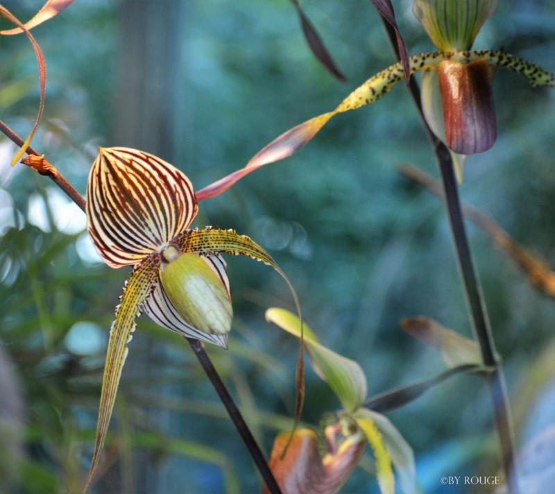 Orchideen-Ausstellungen aus aller Welt - Seite 3 Paphio14