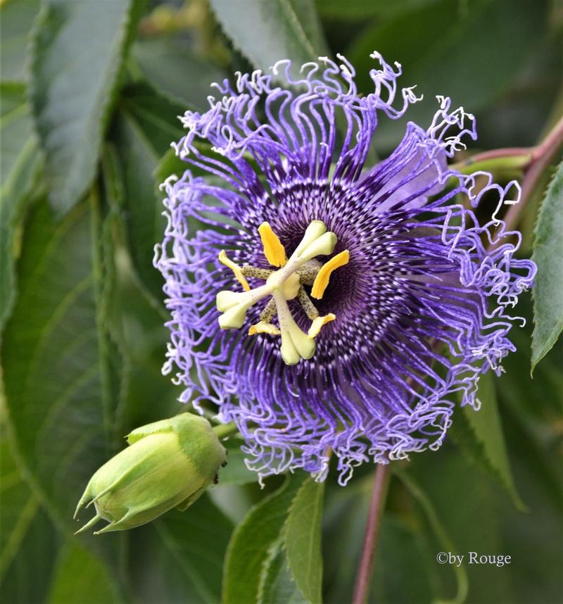 """Passiflora - Passionsblume - kleine """"Juwelen"""" - alles über Aussaat, Pflege, Vermehrung und natürlich Blütenbilder :) - Seite 28 Passif10"""