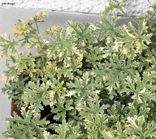 Pelargonium - Pelargonien - alle nichtsukkulenten Arten und Sorten - Aussaat - Stecklinge - Seite 21 Pelarg12