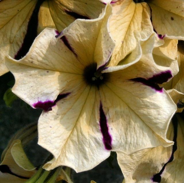 Begleitpflanzen der Kakteen in Haus und Garten - Seite 21 Petuni10