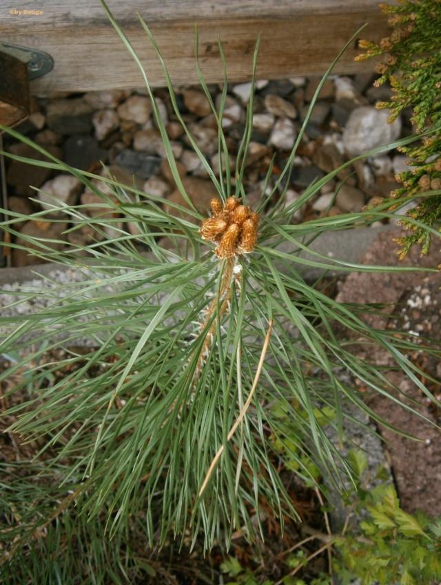 Koniferen aller Art - Seite 3 Pinus_10