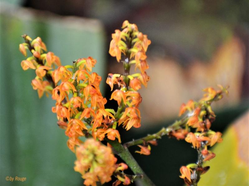 Orchideen-Ausstellungen aus aller Welt - Seite 3 Polyst10