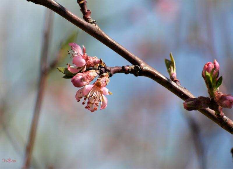 Was für Obstsorten habt Ihr denn im Garten? Aussaat, Spalier, Beerensträucher, Erfahrung und Hilfe :) - Seite 16 Prunus10