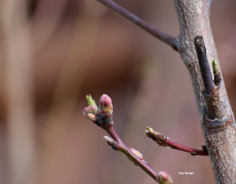 Was für Obstsorten habt Ihr denn im Garten? Aussaat, Spalier, Beerensträucher, Erfahrung und Hilfe :) - Seite 17 Prunus12