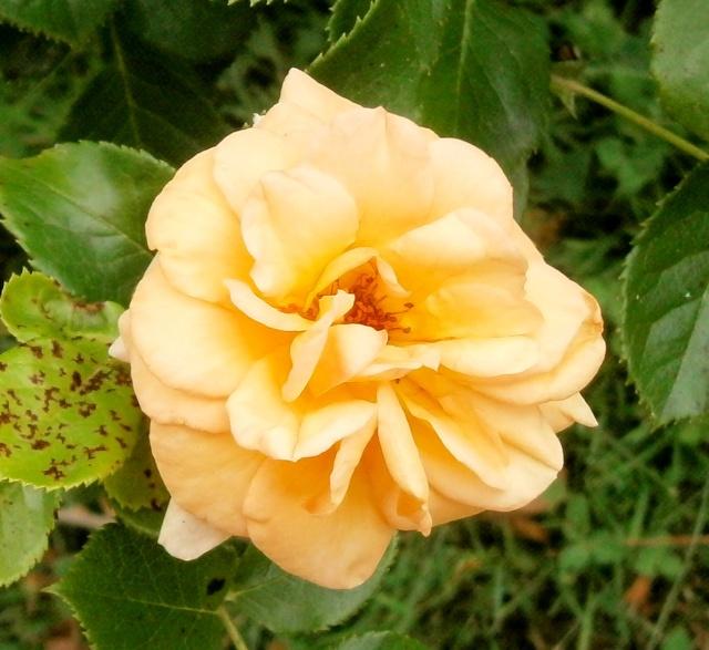 """Rosen - ein Thread für die """"Königin"""" - Seite 5 Rosa_s10"""