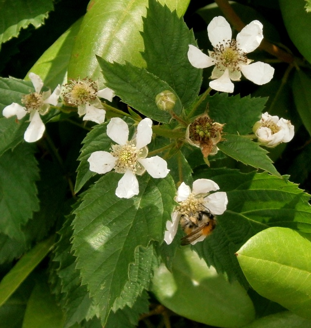 Was für Obstsorten habt Ihr denn im Garten? Aussaat, Spalier, Beerensträucher, Erfahrung und Hilfe :) - Seite 6 Rubus_10