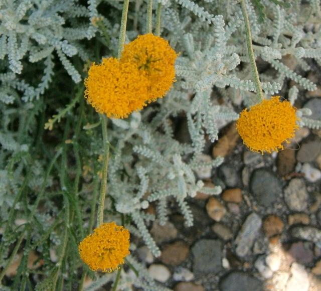 Begleitpflanzen der Kakteen in Haus und Garten - Seite 21 Santol10