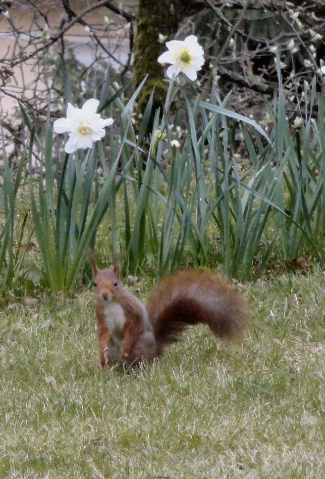 Un visiteur, ce matin dans mon jardin Ecureu11