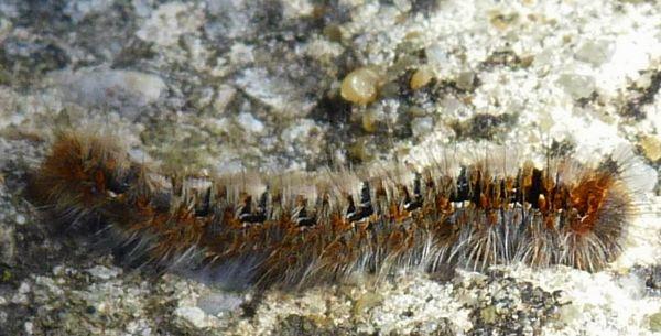 [Lasiocampa quercus](Lasiocampidae)Jolie petite chenille, qui es-tu ? P1070313