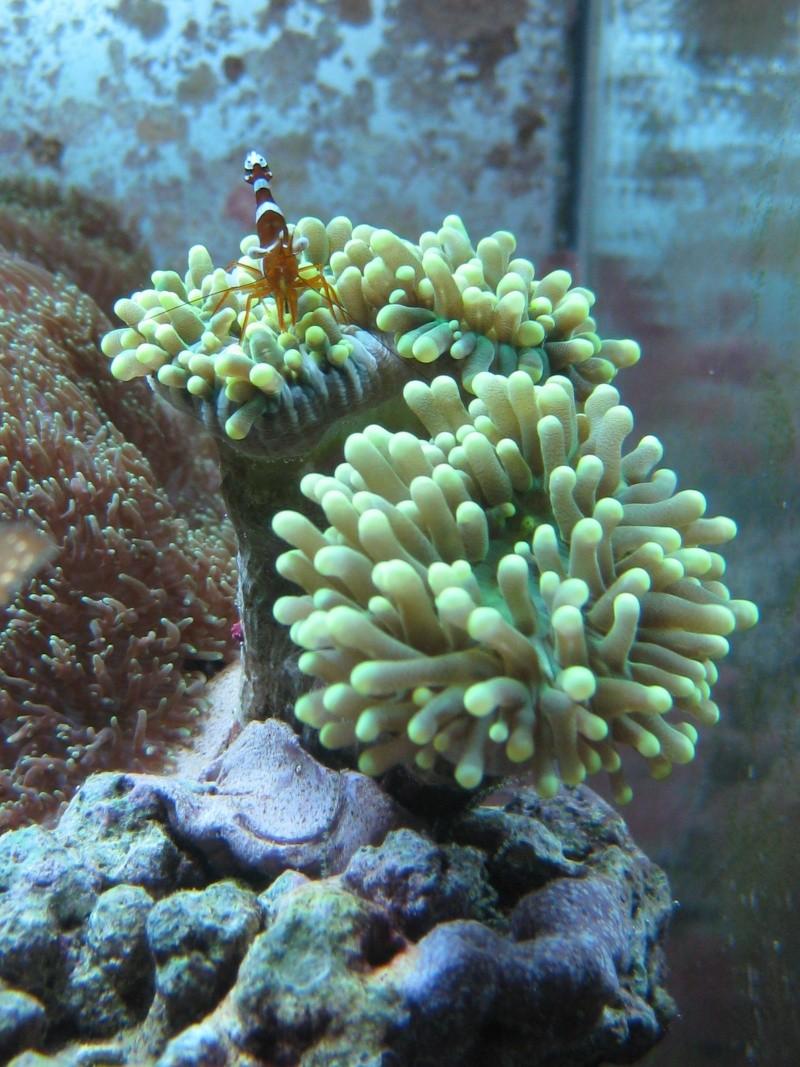 Probleme avec Euphyllia Glabrescens Img_2310