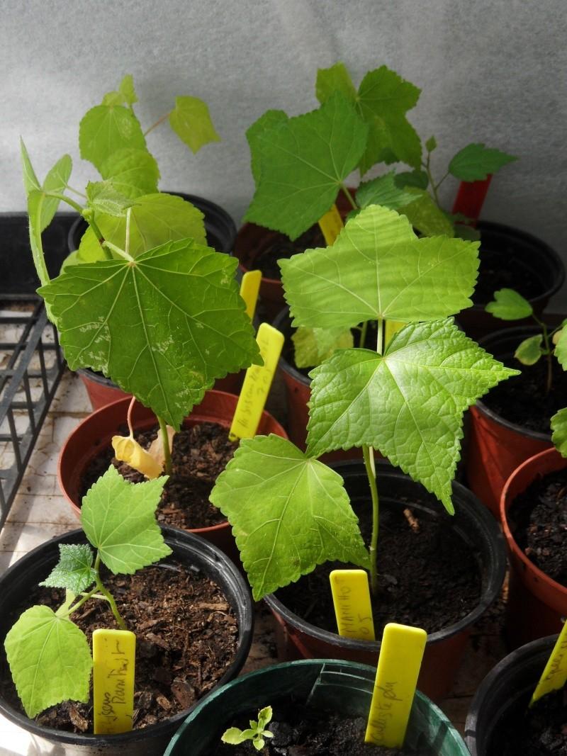 semis d'hibiscus 02310