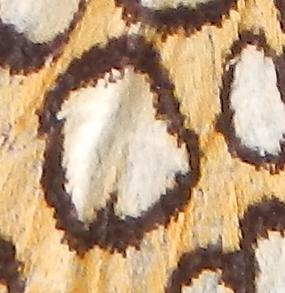 jeux: Quelle est cette insecte? Dscn2910