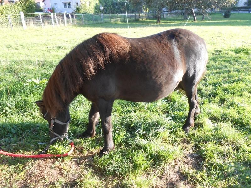 REGLISSE - ONC poney typée Shetland née en 2000 - adoptée en novembre 2013 par Solenn - Page 2 Dscn0110