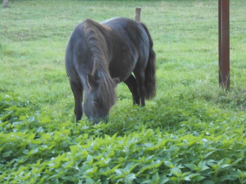 REGLISSE - ONC poney typée Shetland née en 2000 - adoptée en novembre 2013 par Solenn - Page 2 Dscn0112