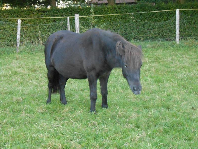 REGLISSE - ONC poney typée Shetland née en 2000 - adoptée en novembre 2013 par Solenn - Page 2 Dscn0116