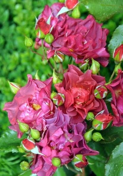 rosa cinco de mayo Cinco_10