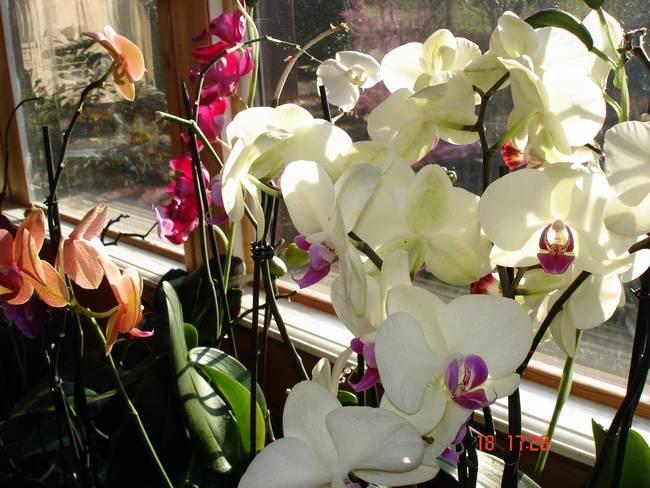 fleurs d'hiver.... Orchid10