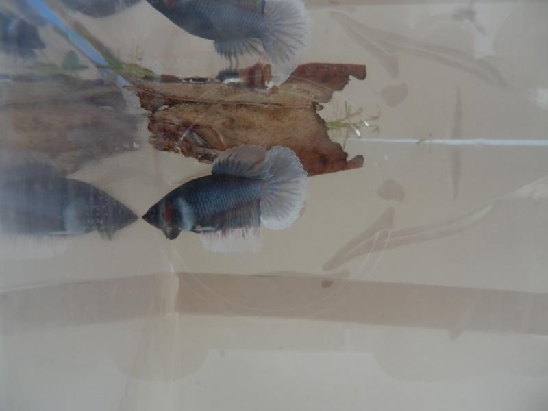 Repro du 21/05/13 Mâle Dumbo VL x Dumbo - Page 3 P8100210