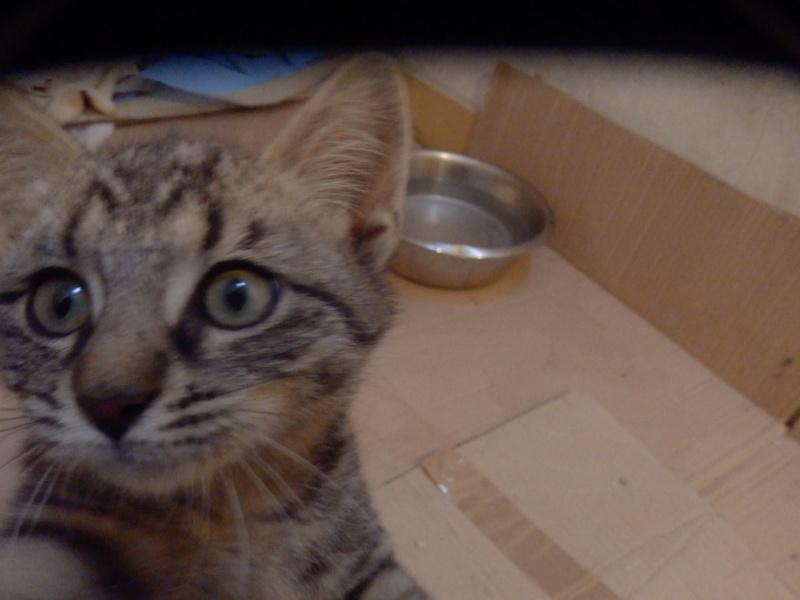 IRMA chaton femelle 10/06/2013 adoptée par jennifer  ( 85 ) P9270011