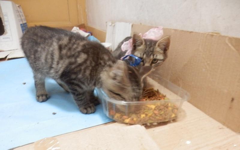 IRMA chaton femelle 10/06/2013 adoptée par jennifer  ( 85 ) P9280010