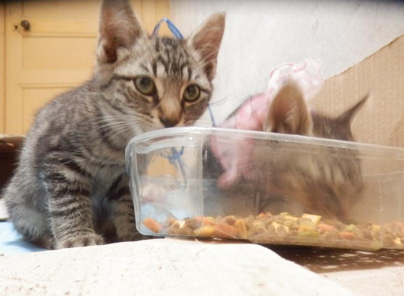 IRMA chaton femelle 10/06/2013 adoptée par jennifer  ( 85 ) P9280011