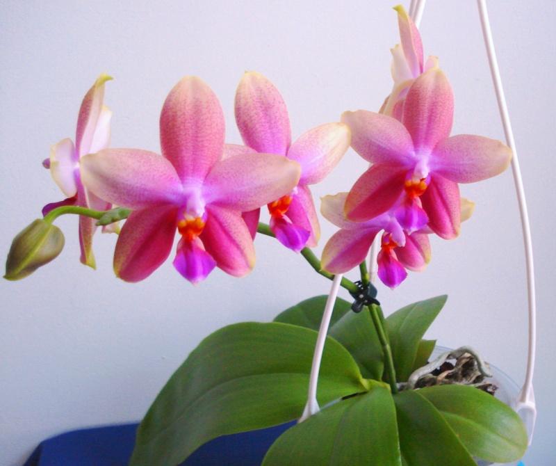 Phalaenopsis Liodoro! - Seite 2 Dsc07710