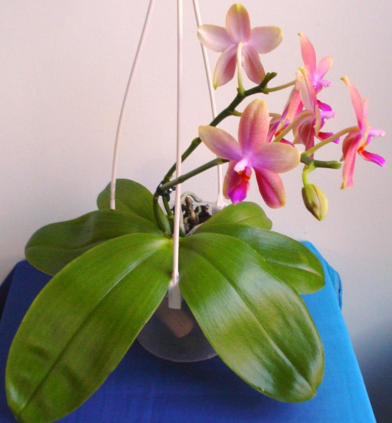 Phalaenopsis Liodoro! - Seite 2 Dsc07810
