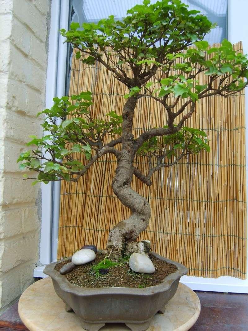mes bonsaïs - Page 2 11sept13